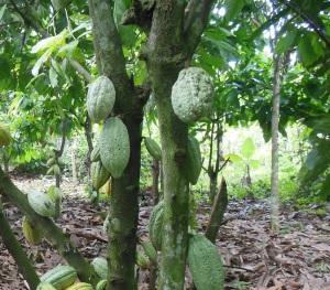 nigeria-cocoa-farmer-11