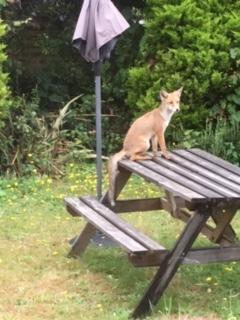 Lisa's fox
