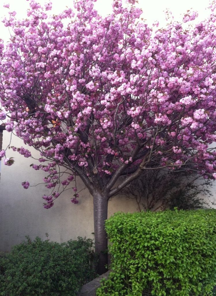 A pink blossom tree in bloom.